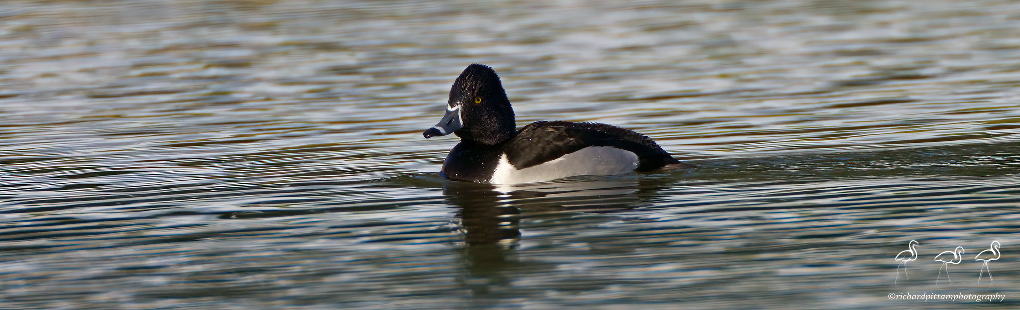 Ring-necked Duck - always diving, in very challenging strong winter light.