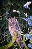 Long-eared owl in our home garden | February 11, 2021 | Tarbek - Segeberg District - Schleswig-Holstein - Germany