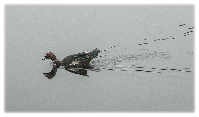 Birds 31 2021; Muscovy Duck