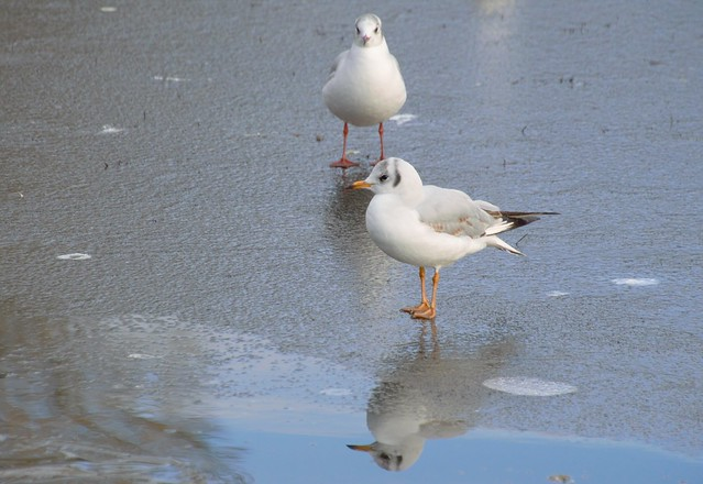 Icy gulls
