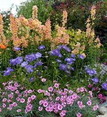 Antirrhinum majus 'Chantilly Peach', Scabiosa caucasica 'Fama' & Dianthus 'Thea Mary'