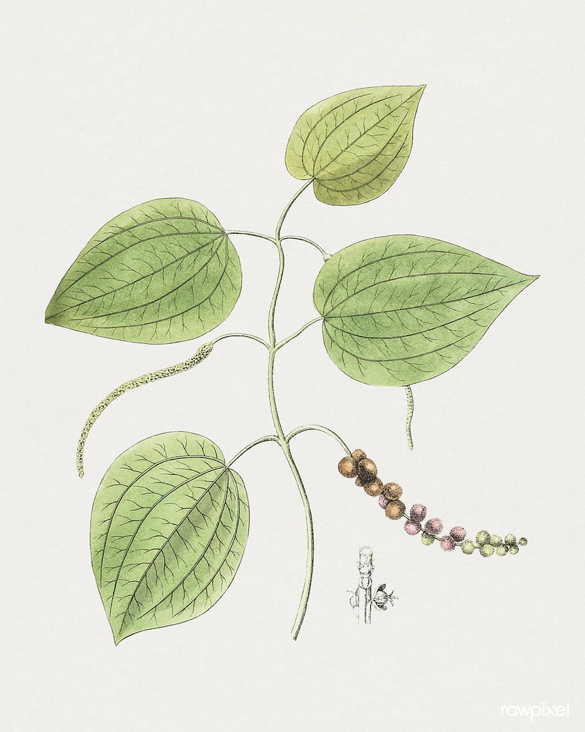 Hand drawn fresh peppercorn. Original from Biodiversity Heritage Library. Digitally enhanced by rawpixel.