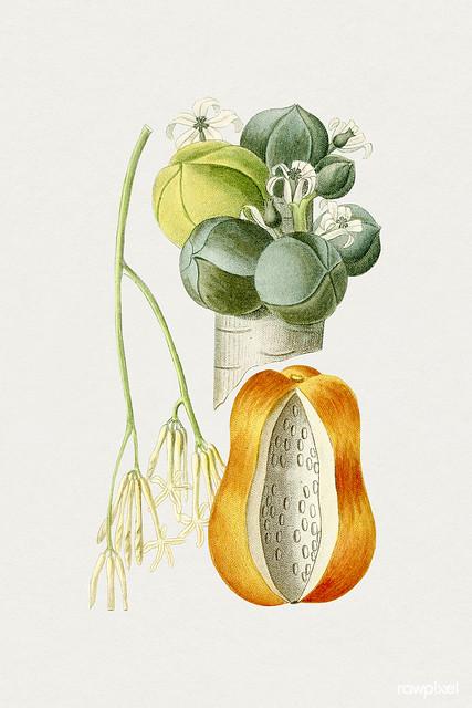 Hand drawn papaya. Original from Biodiversity Heritage Library. Digitally enhanced by rawpixel.