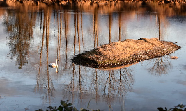 A SWAN IN REFLECTION IN A BACKWATER OF THE FRASER RIVER,  NEAR MISSION,  BC.