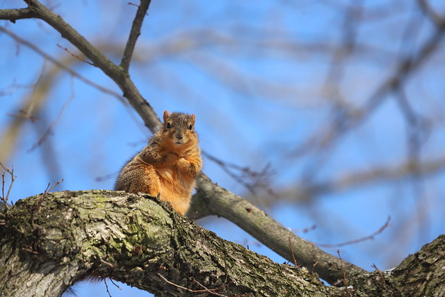 Fox Squirrels in Ann Arbor at the University of Michigan on February 11th, 2021