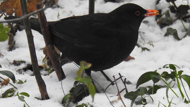Amsel - Common Blackbird