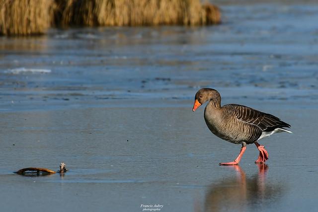 Oie cendrée  - Greylag Goose  (Anser anser)