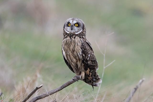 Short-eared Owl 3I0768 ( Explored 2/12/2021 )