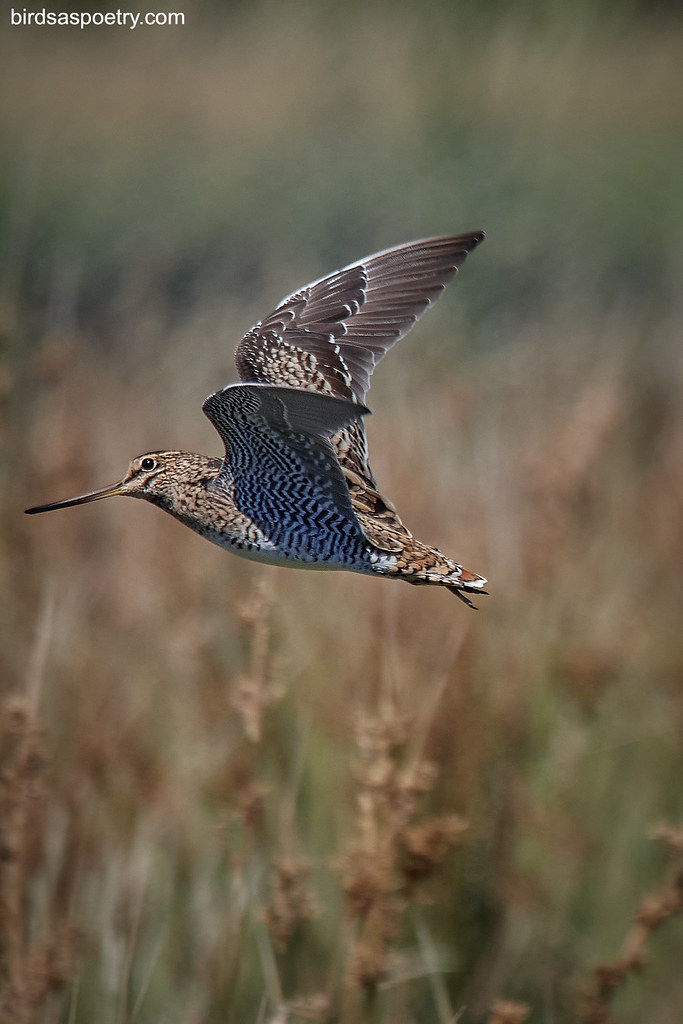 Latham's Snipe: Colour Set