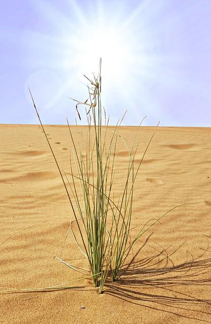 A Tuft of Grass in the Desert.