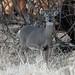 248A3922 whitetail doe fawn