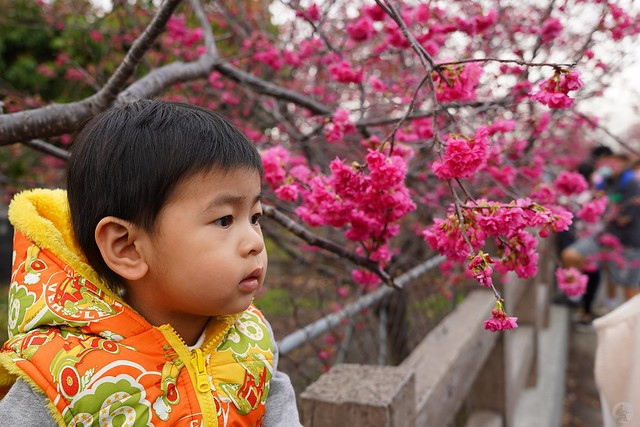 后里泰安櫻花