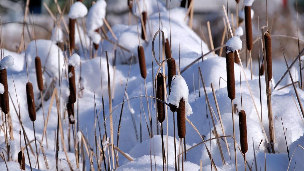 Schilf und Rohrkolben im Schnee