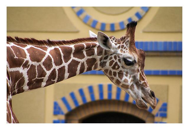 Urban Giraffe (Berlin Tiergarten)