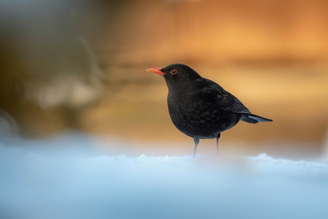 Male Blackbird.
