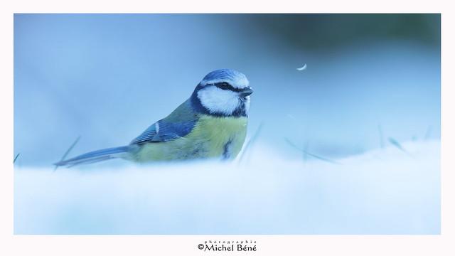 épisode neigeux_mésange bleue