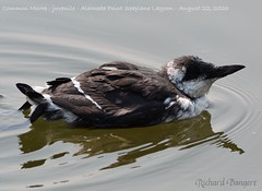 Common Murre (juvenile)