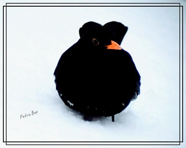Winter impressions,  Blackbird in the snow☃️❄⛄