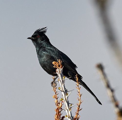 phainopepla bird birds nature curvedbillthrasher hummingbird scenicnature landscapes mountains hotairballoons