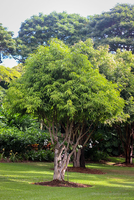 Ficus maclellandii 'Alii'