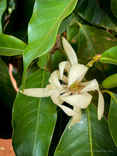 Magnolia x alba