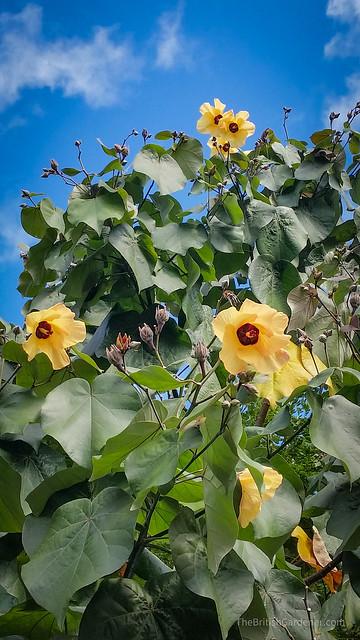 Hibiscus tilliaceus