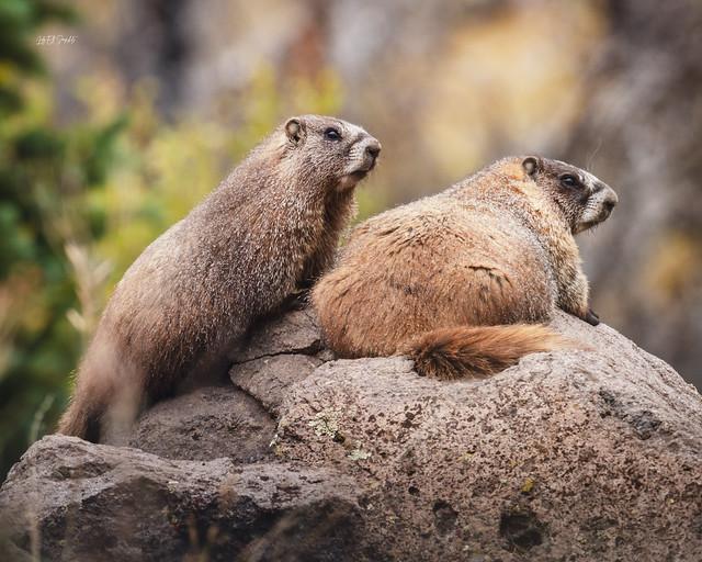 Marmots on Rocks