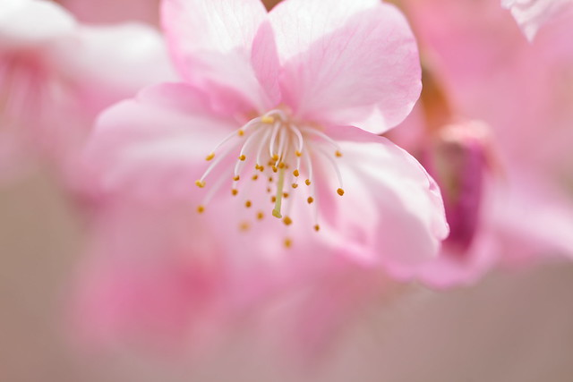 spring, in which the cherry blossoms bloom