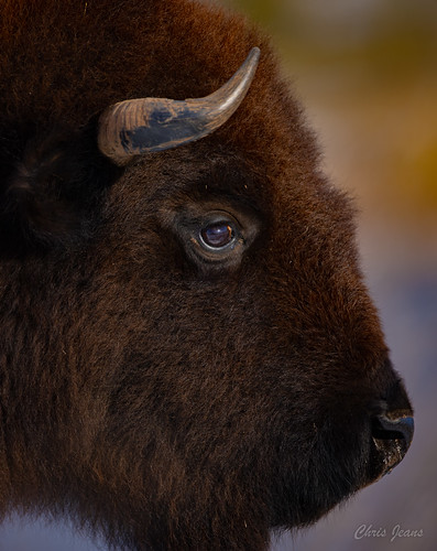 Caprock Canyon State Park Buffalo Young Bull.jpg | by ChrisGJeans