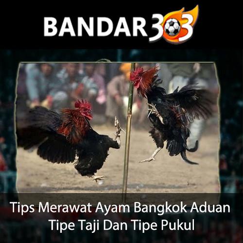 Tips-Merawat-Ayam-Bangkok-Aduan-Tipe-Taji-Dan-Tipe-Pukul-IG