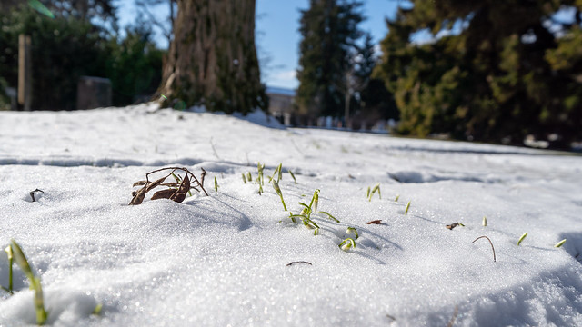 In the snow: Snow drops (2/2)