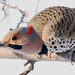 248A2981 a yellow shafted flicker