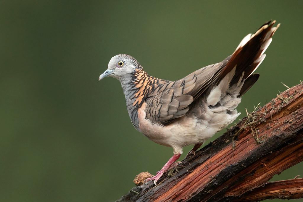 Bar-shouldered Dove (Geopelia humeralis humeralis)