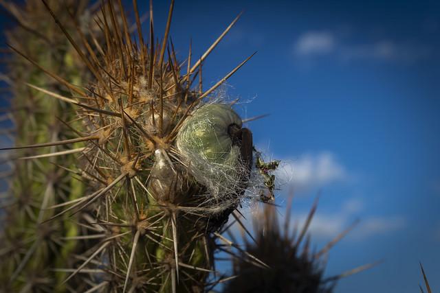 Cactus / Cacto