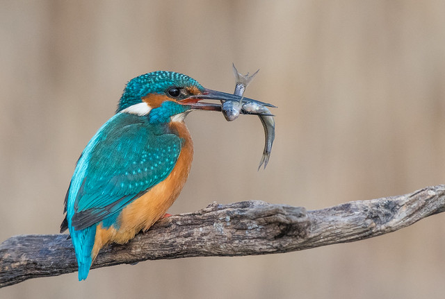 Double the real /Kingfisher ❤️
