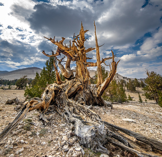 The Bristlecone Pine Looks Like Its Giving You The Finger