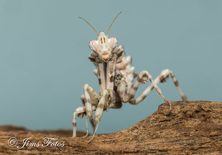 L5 Thistle mantis | by Jims Fotos