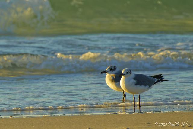 _PDN7556_Laughing Gull, Navarre Beach, Florida