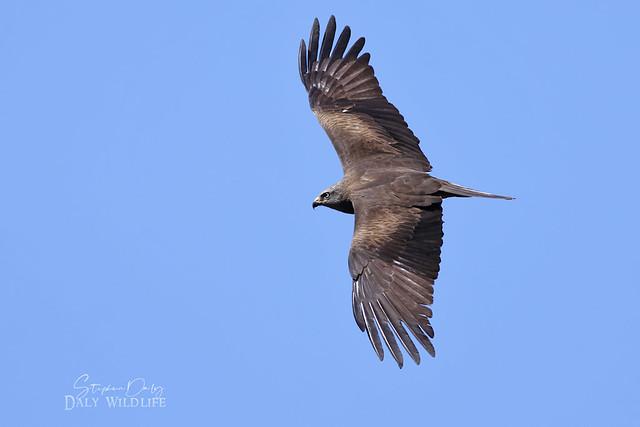 Black Kite (Milvus milvus) juv. flight _6601