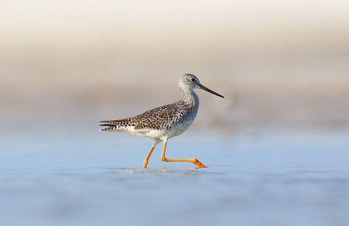 Greater Yellowlegs | by geno k