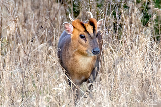 Muntjac deer | by jkyles32