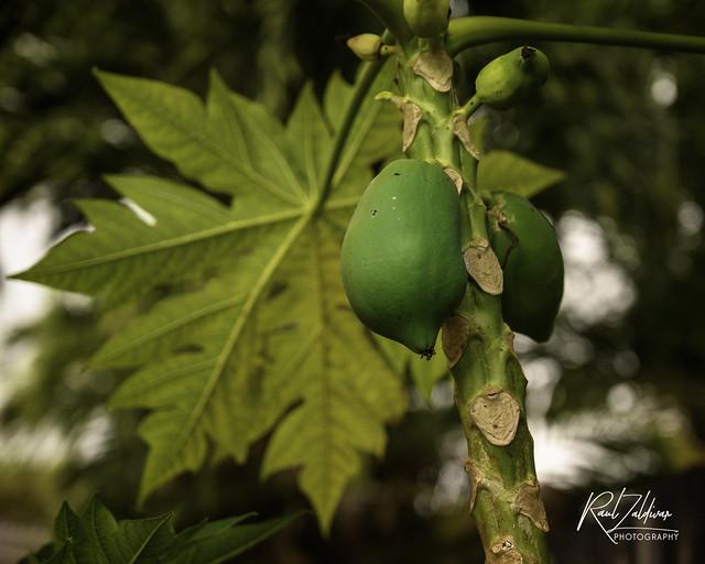 The joy of watching things grow!! - Papaya