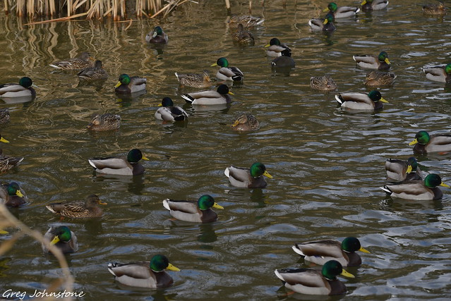 Ducks - 3