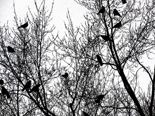 a murder of crows