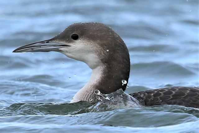 Black-throated Diver (Gavia arctica)  Winter plumage .  Dungeness RSPB