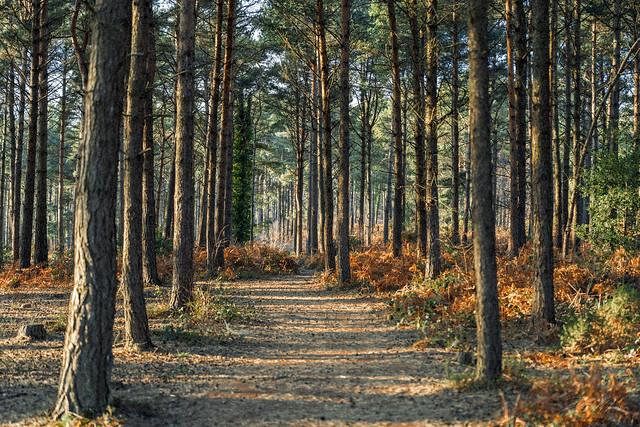 Woodland Walk - Woodbury Common