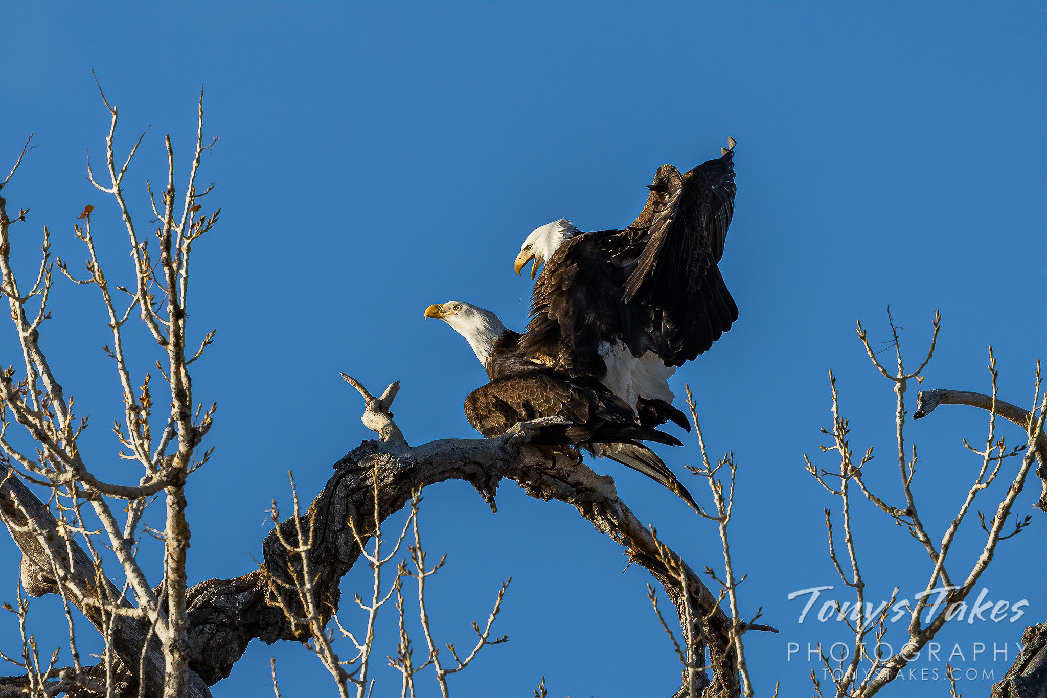 "Bald #eagle pair enjoys some early morning ""recreation"""