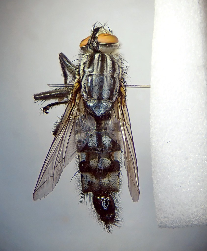 Sarcophaga carnaria pinned male - Canley Ford, Coventry 1