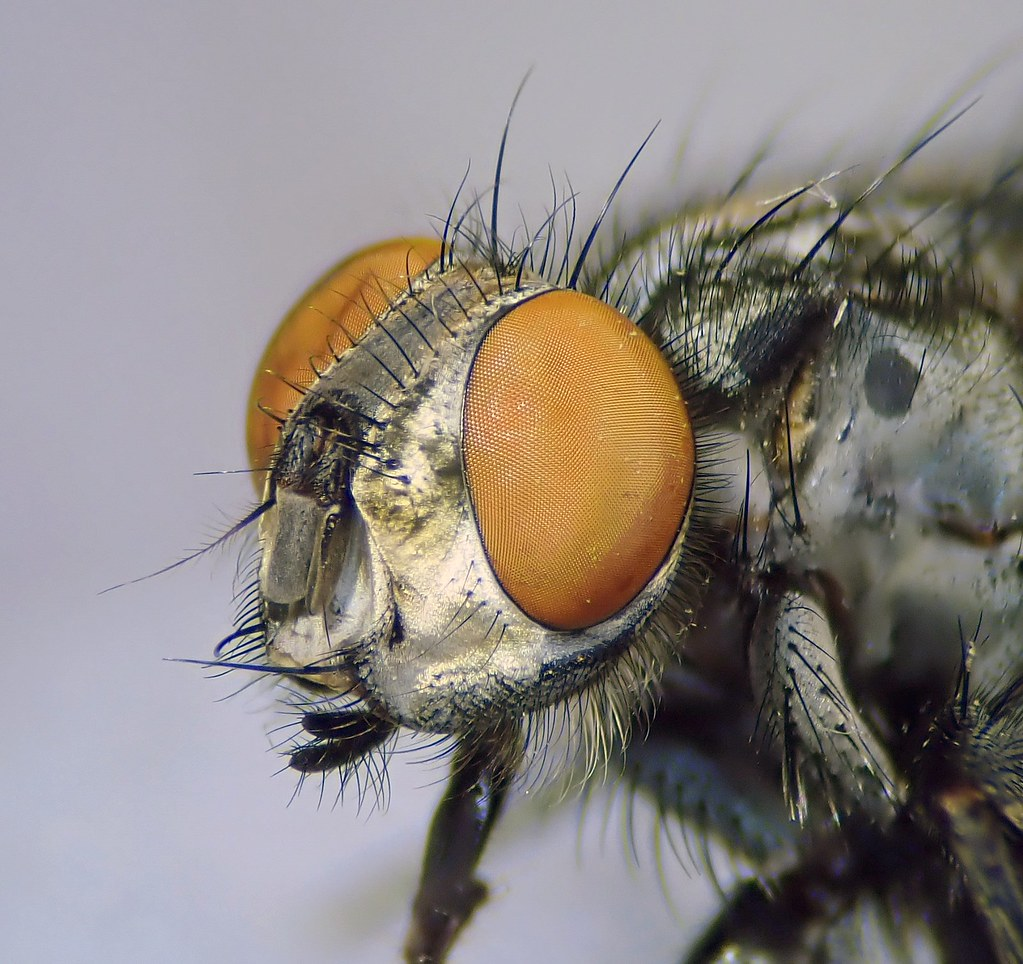 Sarcophaga carnaria male head - Canley Ford, Coventry 2