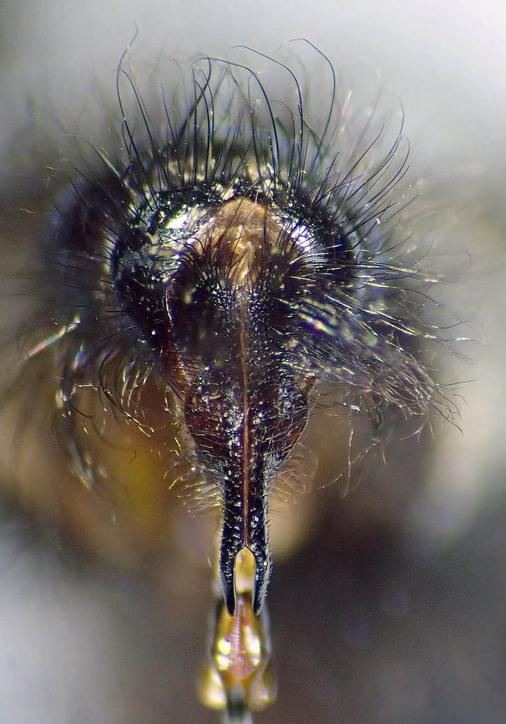 Sarcophaga carnaria male cerci - Canley Ford, Coventry